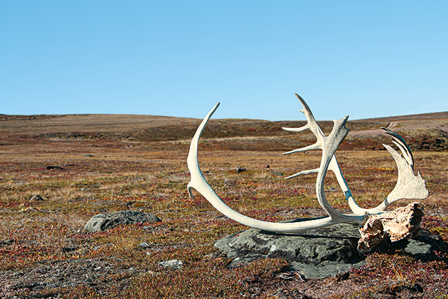 The Decline in Caribou Numbers and Hunting Opportunity