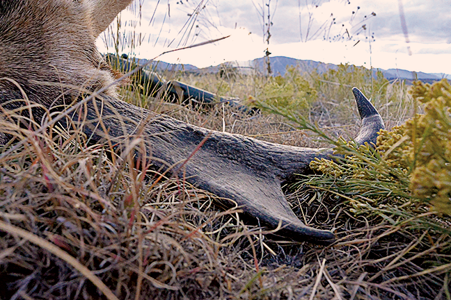 Pronghorn on ground