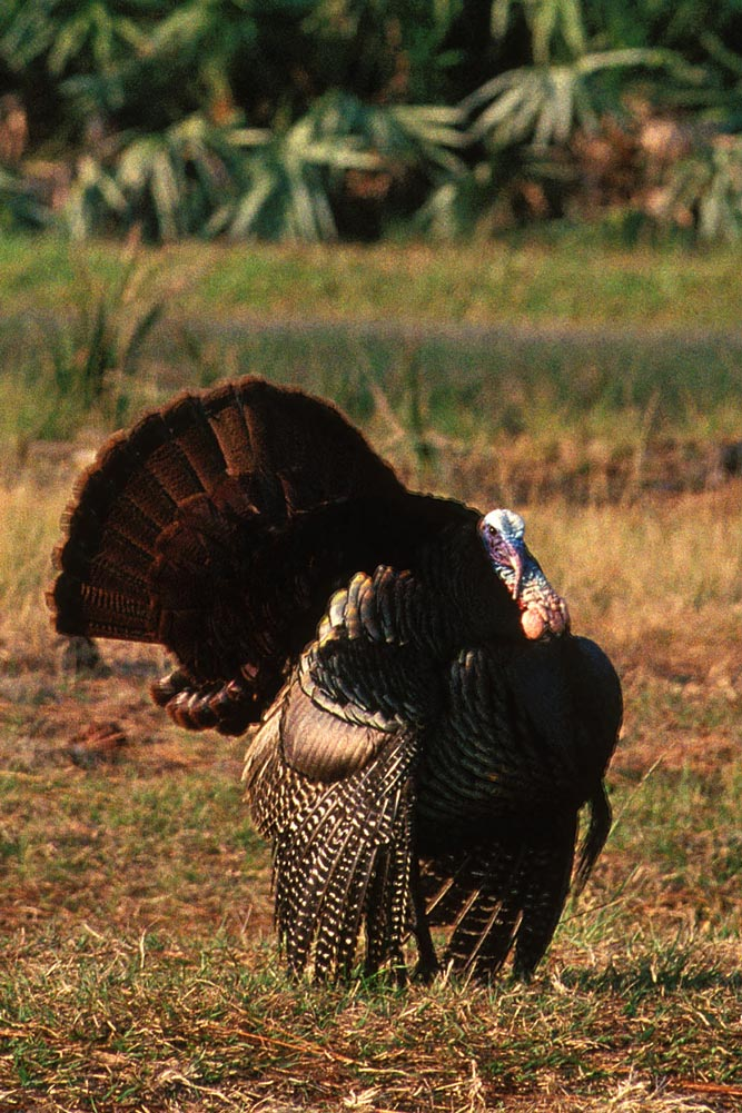//www.petersenshunting.com/files/best-states-for-a-turkey-grand-slam-this-year/osceola_1.jpg