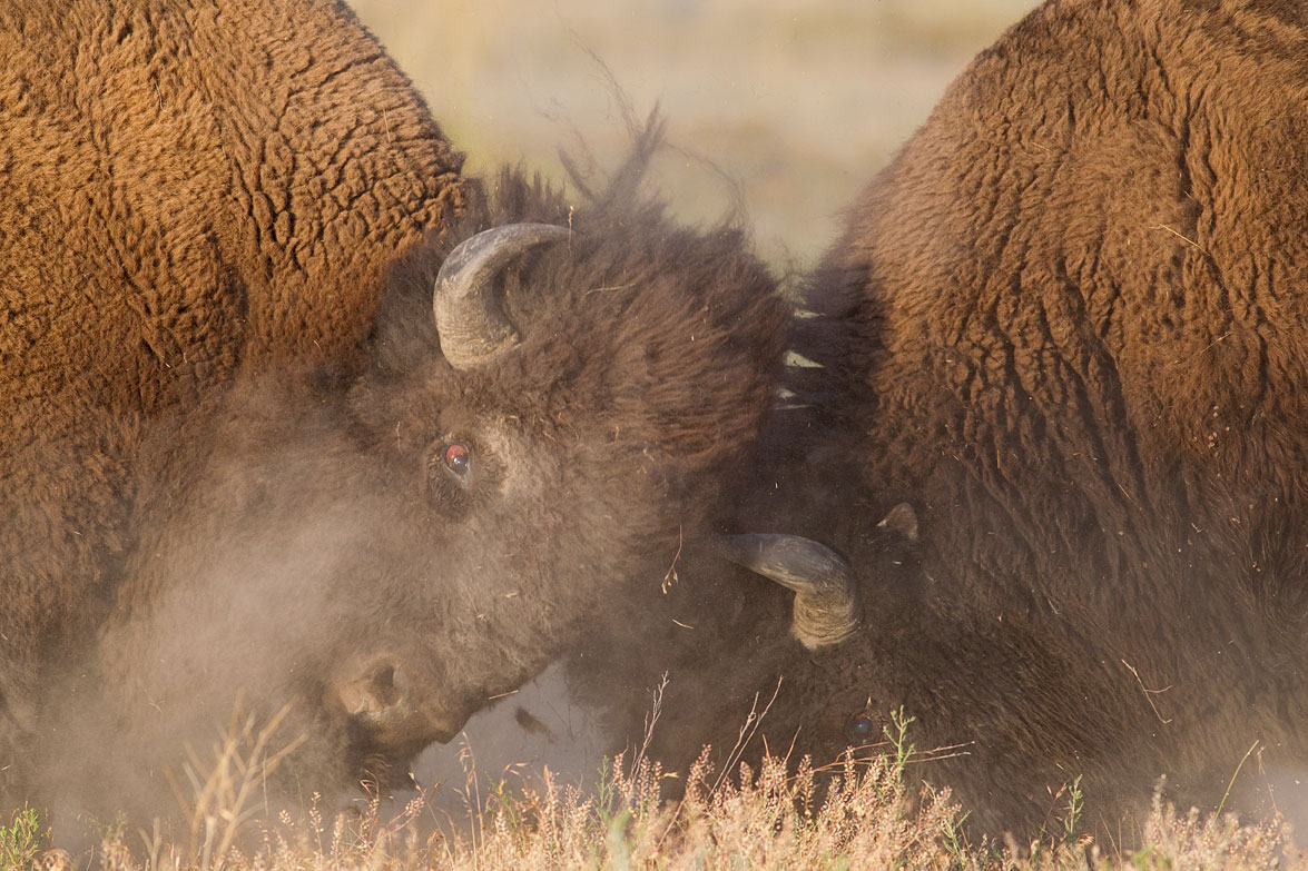 //www.petersenshunting.com/files/huntings-most-amazing-images/american-bison1534d.jpg