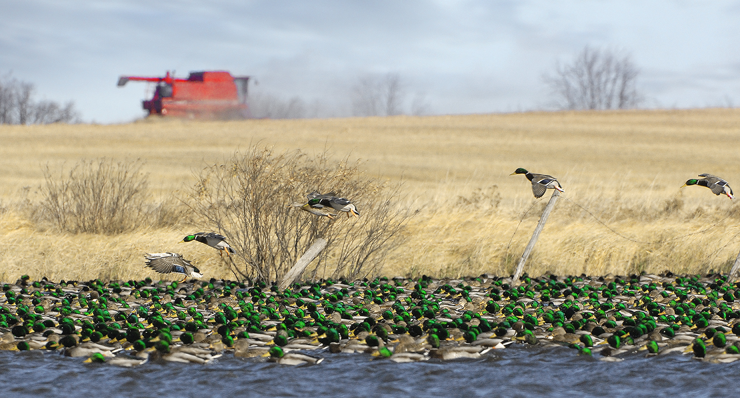 //www.petersenshunting.com/files/huntings-most-amazing-images/farming_late-season-greenheads_0137.jpg
