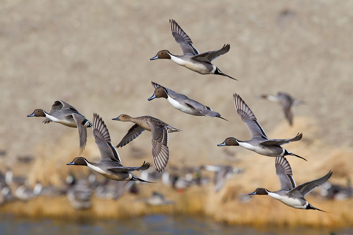 //www.petersenshunting.com/files/huntings-most-amazing-images/northern-pintail1627d.jpg