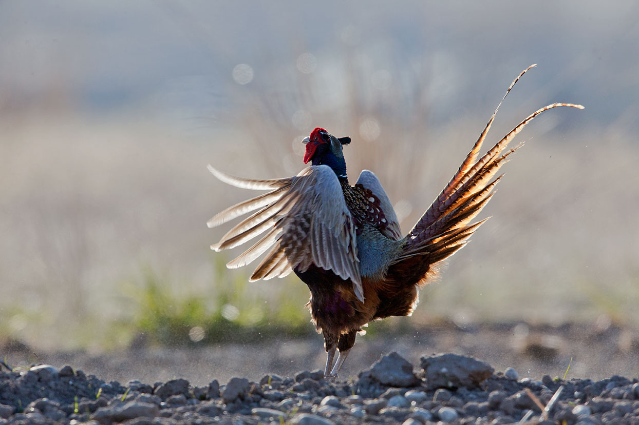 //www.petersenshunting.com/files/huntings-most-amazing-images/ring-neck-pheasant0496d.jpg