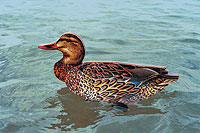 By Jennifer L.S. Pearsall    Backwater Decoys FUD (Fold-Up Decoys) offer photo detail