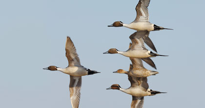 Let the Migration Begin: Duck numbers steady, geese rebound