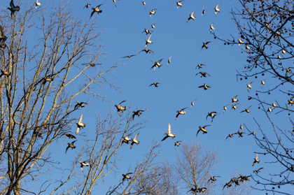 Working Big Flocks of Speesters In Arkansas' Flooded Forest.
