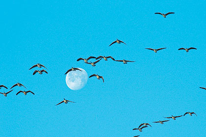 Geese change patterns under a full moon.