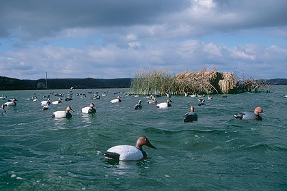 Canvasback quest for Mississippi wind pool