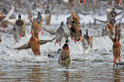 Three Surefire Tactics For Refuge Mallard Hunting