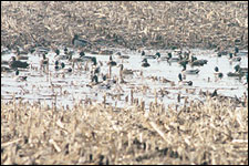 By Kenny Darwin    Low spots holding water are top bets for field-feeding ducks. This