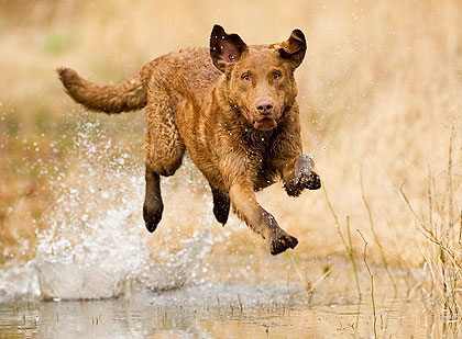 Tough and durable, the Chesapeake Bay retriever was bred to fetch ducks
