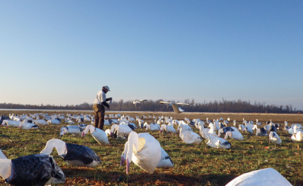 Snow goose, snow goose decoy