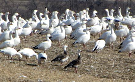 Snow goose, snow goose hunting