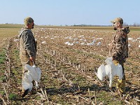 A snow goose decoy setup should reflect the patterns of the flock. Geese are likely to be aggressively feeding in the morning and afternoon, but spread out and loafing at midday.