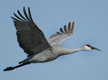 Kentucky Fish & Wildlife Approve Sandhill Crane Hunt