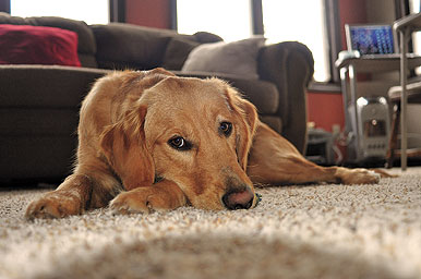 Most retrievers are also indoor family pets, so flea and tick control is essential to protect people, too.