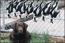 A pro's way to rig for sea ducks put the odds in our favor.    His golden eyes pierced the cold