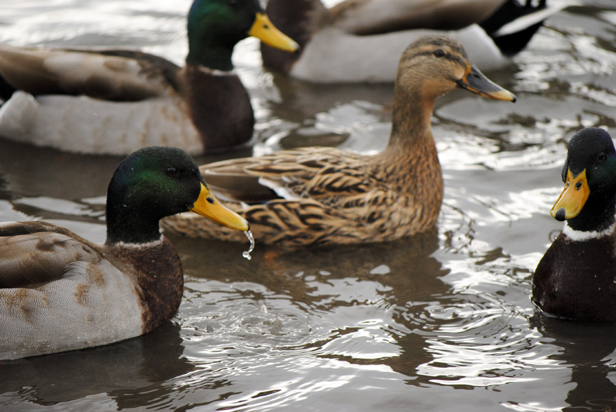 U.S. Duck Populations Up This Year