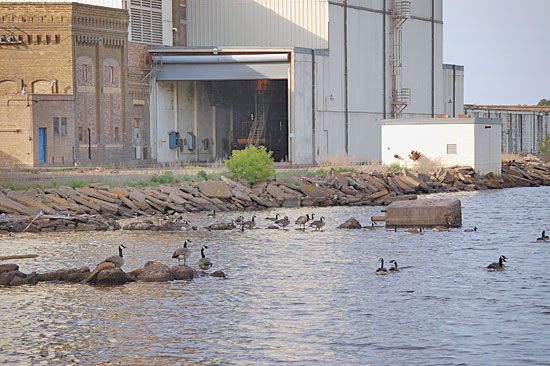 Tactics For Hunting Urban Waterfowl