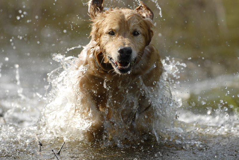 The ideal golden retriever can do just about anything today's American waterfowl hunter wants his