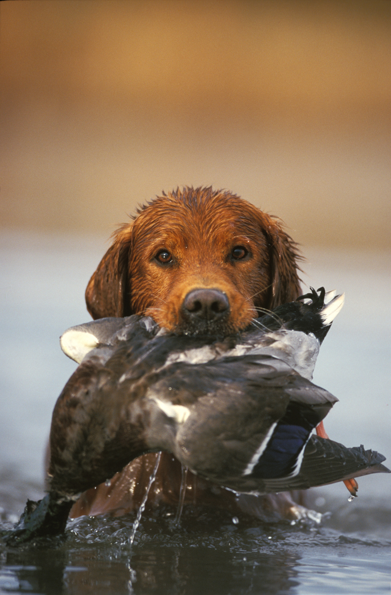 The Midas Touch: Golden Retrievers Make Great Duck Dogs ...