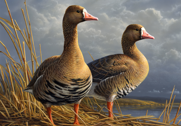 The 2011 Federal Duck Stamp.