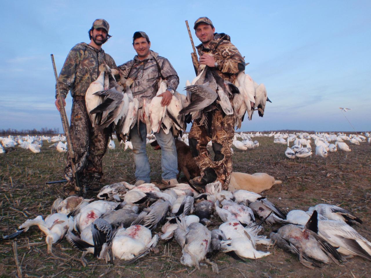 Snow goose pile