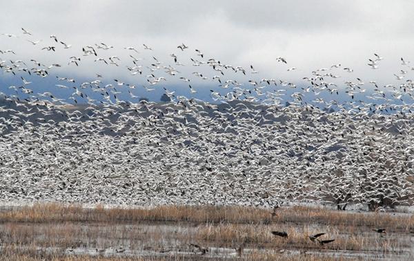 Klamath Basin Snow Geese