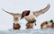 Canvasback_001