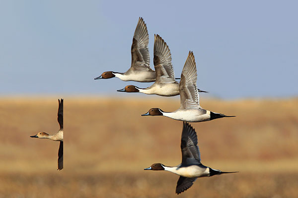 8 Great Strategies for Duck Hunting