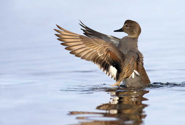 They aren't going to win any beauty contests, at least not at first glance. Gadwalls don't have a