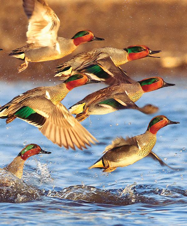 //www.wildfowlmag.com/files/2013-duck-numbers/green-winged-teal.jpg