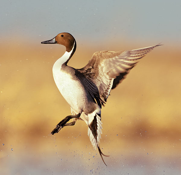 //www.wildfowlmag.com/files/2013-duck-numbers/northern-pintail.jpg