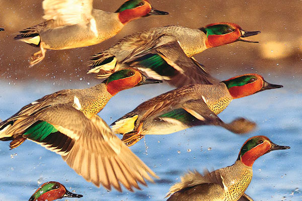 U.S. Fish & Wildlife Service Releases 2013 Duck Numbers
