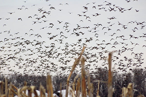 72 Hours On The X Hunting Snow Geese In South Dakota