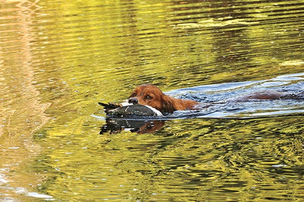 How to Prepare Your Bird Dog for the Season