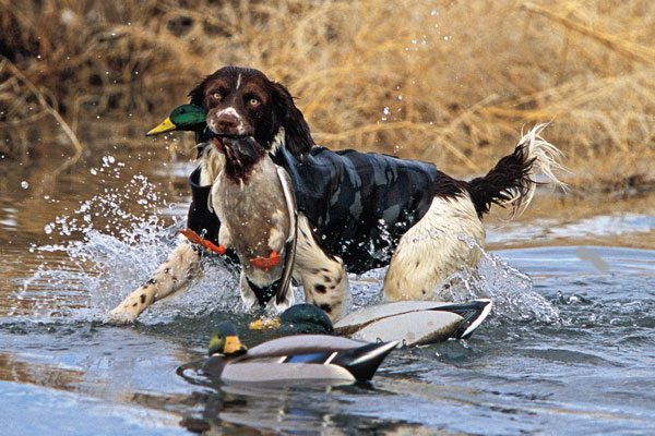 Historic Breeds Of Hunting Dog