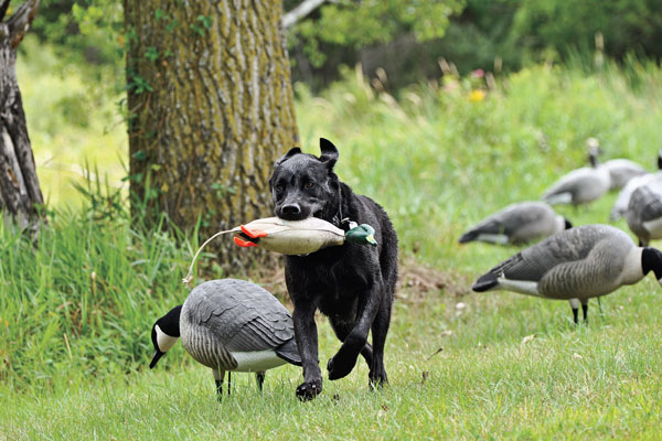 Picking the Right Pedigree for Your Gun Dog
