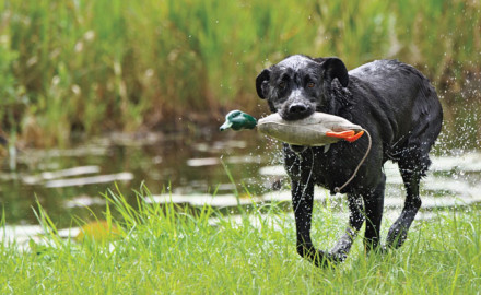 Duck dog training