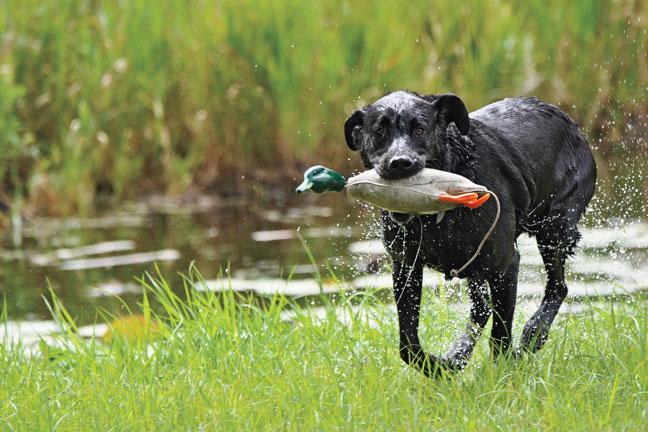 Duck dog training