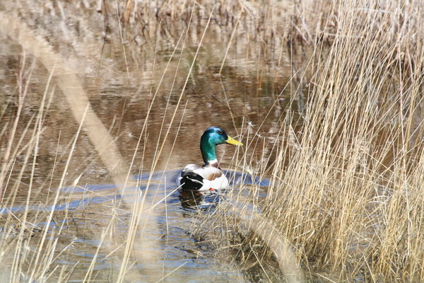 How To Spot And Stalk Greenheads With Success Wildfowl