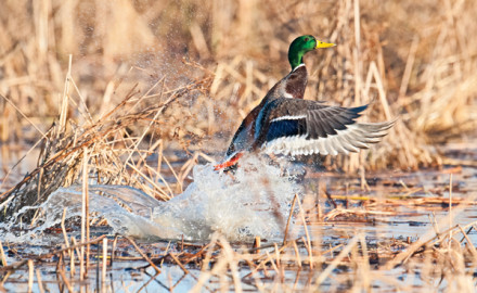 Most duck hunting rules are pretty simple; no shooting after sunset, your shotgun can't hold more