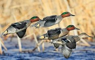 3 Midwest States to Offer New Experimental Teal Season in 2014