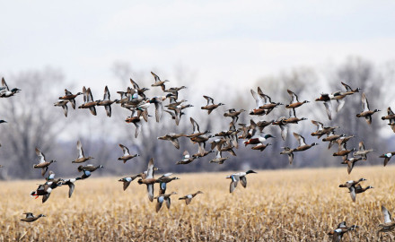 Midwestern waterfowlers looking to scratch their early-season teal itch in Michigan, Wisconsin