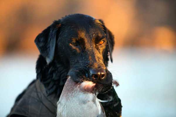 15 Awesome Retrieving Photos You Need to See