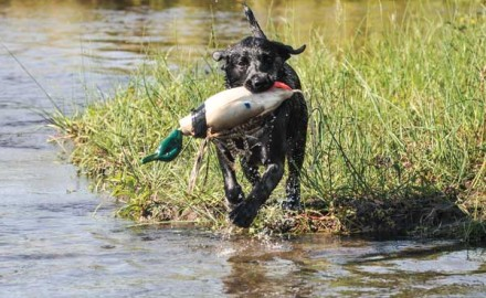 Good duck dogs need to know how to count—at least to two, anyway. Eventually, they should be able