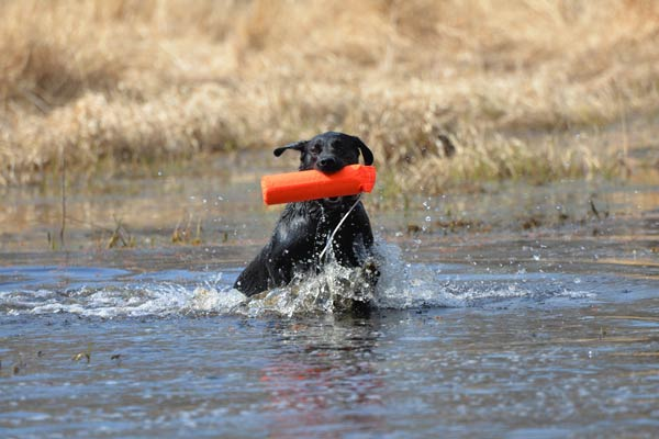 3 Retriever Training Exercises for the Time-Strapped Waterfowler