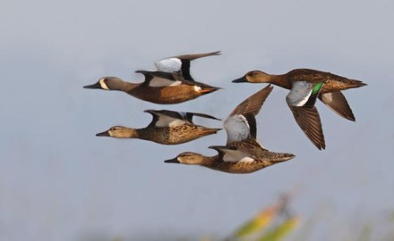 Biologists claim canvasbacks and mergansers are the fastest ducks of all, and that teal in fact