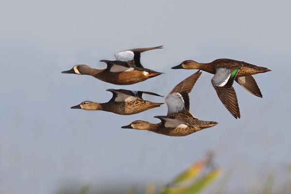 Why Early Teal Season is the Best