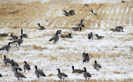 Late-season geese are challenging, as any experienced waterfowl enthusiast can attest. These birds